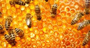 Vrei miere buna? Cumpara si tu familii de albine!