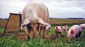 Nutreturi combinate porci, nutritie de nota 10 de la Stefania