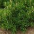 Pepiniera plante ornamentale Pinus va ofera o solutie completa pentru o gradina perfecta