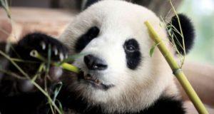 Primii pui de panda la Grădina Zoologică din Berlin